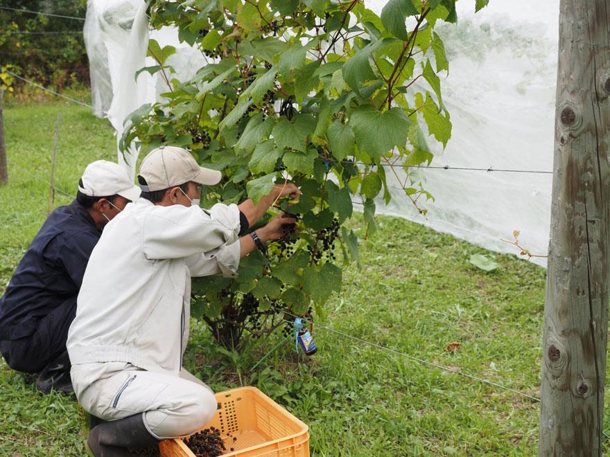 葡萄を収穫している農園課のスタッフ